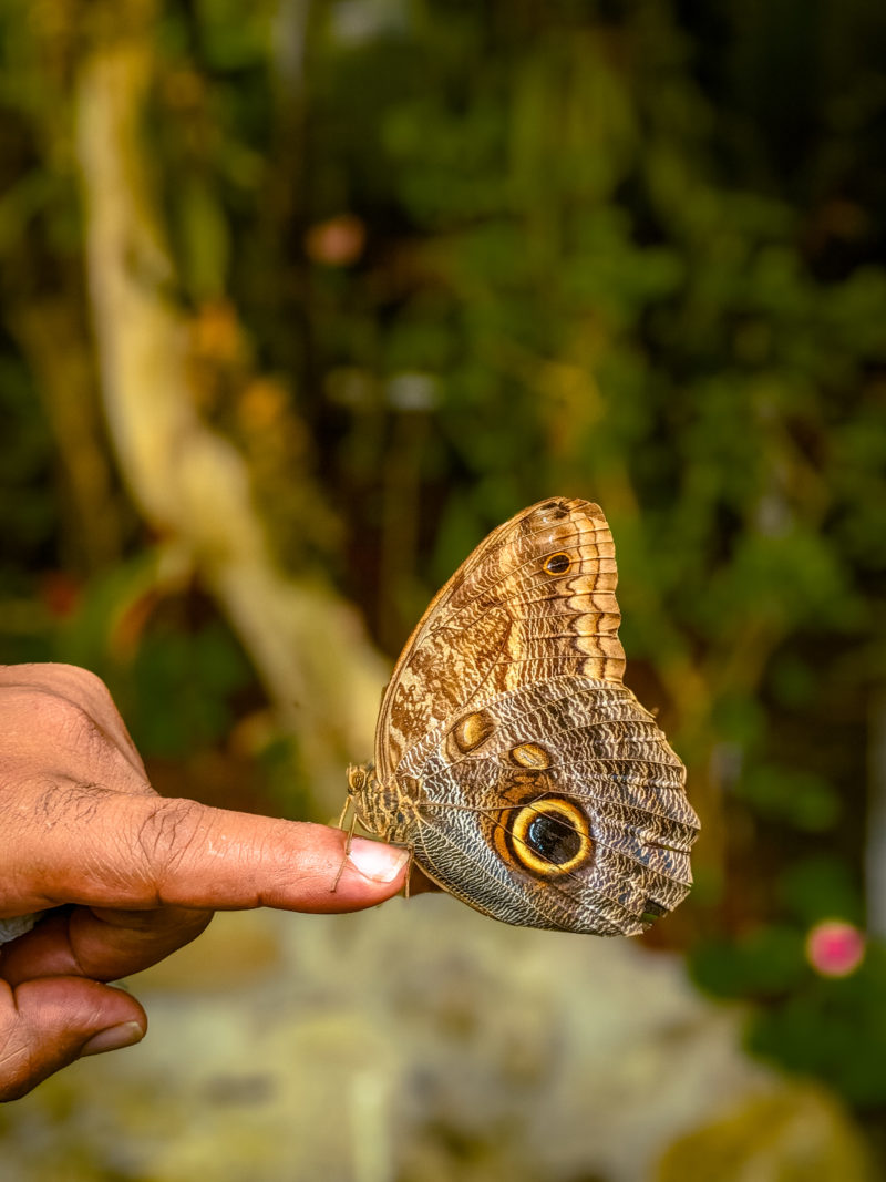 Owl Butterfly in Costa Rica